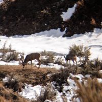 Spot and Stalk Mule Deer Hunting Tactics