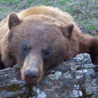 Limited Availability on Black Bear Hunts