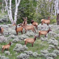 A look at the Southern Big Horn Elk Herd